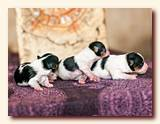 Puppies of biewer at 2-days age