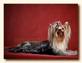 yorkshire terrier SWEET BABY OF SHANGAI