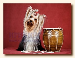 yorkshire terrier from Irikids SWEET BABY OF SHANGAI