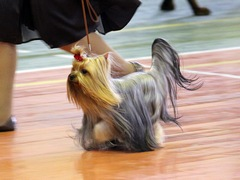 SWEET BABY OF SHANGAI, yorkshire terrier from Irikids, 2xCAC, CW, ЧФ
