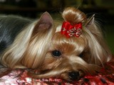 SWEET BABY OF SHANGAI, yorkshire terrier from Irikids, CAC, CW, ЛС, ЧФ